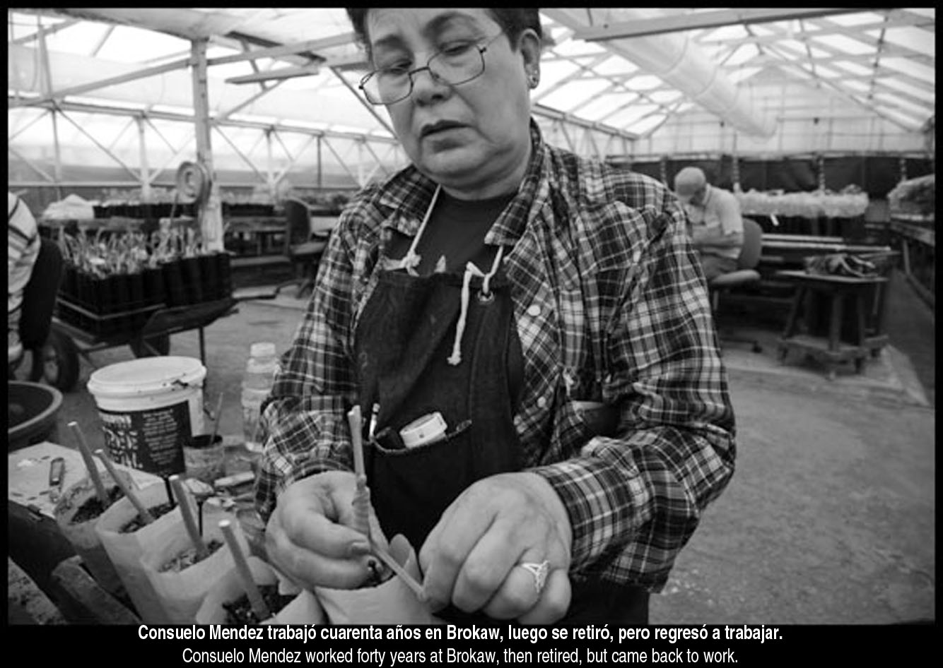 SATICOY, CA - 18APRIL12 - Immigrant farm workers graft seedlings for avocado, citrus and other fruit trees at Brokaw Nursery, which supplies them to orchards all over the world. Most workers come from Mexico, but a few are from El Salvador.  Pictured:  Consuelo Mendez worked forty years at Brokaw, then retired, but came back to work because Social Security benefits didn't cover her bills.  Copyright David Bacon