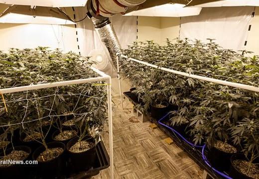 Corte prohíbe al Dept. de Justicia procesar a los usuarios y cultivadores de marihuana médica