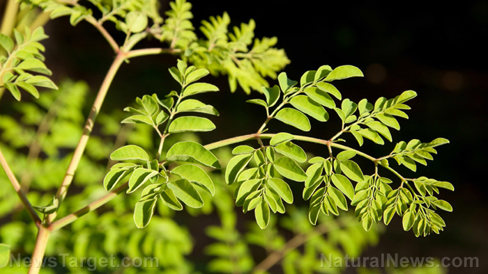 Moringa-Tree-Leaves_Health